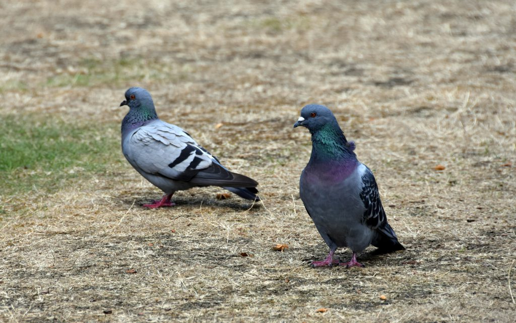 pigeons on dry grass