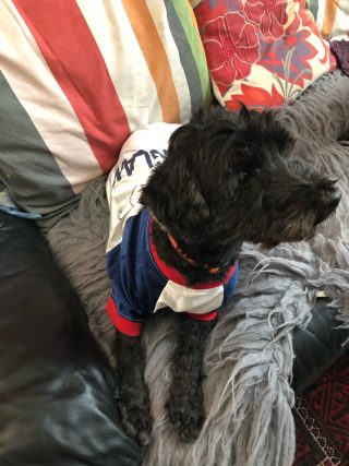 Photograph of a small black dog in an England t-shirt