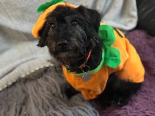 Photo of a small black dog dressed up in a pumpkin outfit