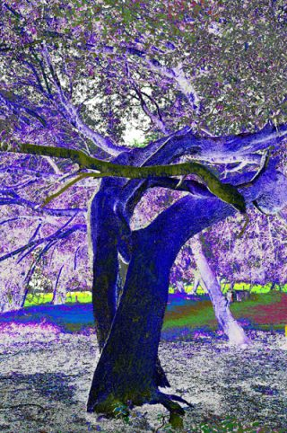 Two tree trunks have grown intertwined, like a ballroom dancing couple leaning back. The photograph has been manipulated so that the predominant colours are shades of purple and blue.