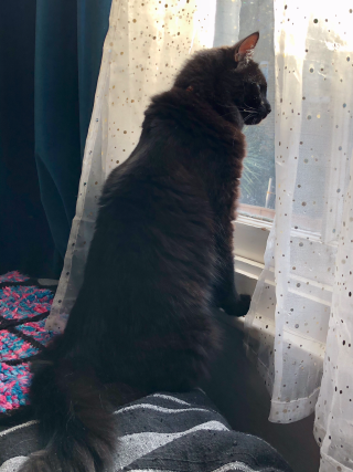 Photo of a black cat looking through a curtain out of the window