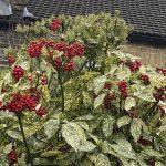 Red berries blossom on the laurel bush
