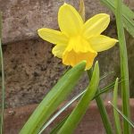 A yellow narcissus flower